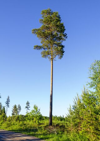 single high pine tree at a forest clearing in Sweden Stock Photo