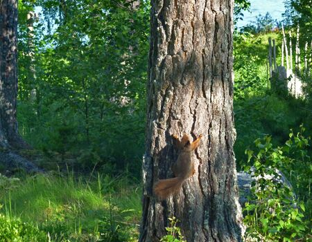 squirrel climbing upwards on a tree stem in spring forest