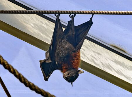 Indian flying fox hanging upside down on a steel rope in sunshine before a blue sky