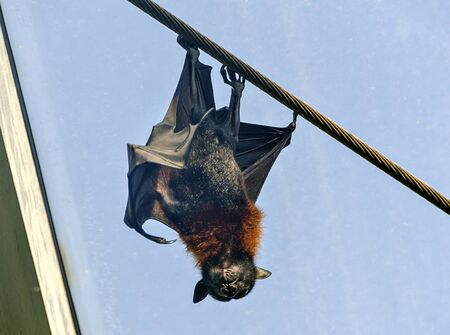 Indian flying fox hanging upside down on a steel rope in sunshine before blue sky