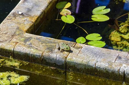 green water frog on a wooden pond edge in sunshine Stock Photo