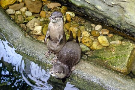 A pair of otters at an artificial water course in a zoo