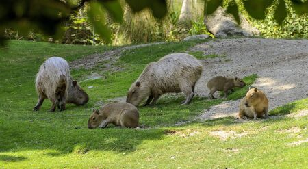 a group of Capybaras with adults and youngsters grazing on a meadow