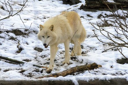 white arctic wolf trots through a snowy forest