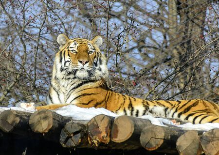 Siberian tiger lying with raised head in winter at sunshine on a wooden platform with snow Фото со стока