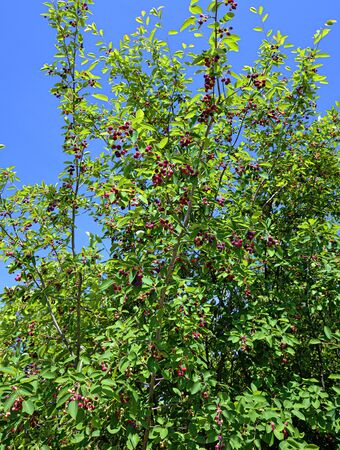 shadbush with small red fruits before blue sky in sunshine