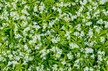 white flourishing plants of the variety master of the woods