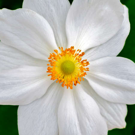 Near view of a white blossom of a japanese anemone with orange achenes and a yellow gynoecium