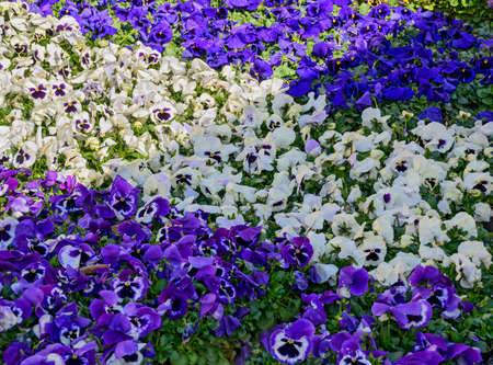 white and violet flourishing pansies at a market garden covering the floor