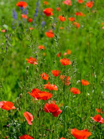 red flourishing common poppy plants in Tulln, Austria