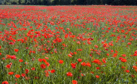field with red flourishing common poppies in Tulln, Austria