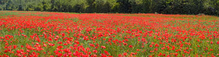 Panoramic view across a field with red flourishing common poppies in Tulln, Austria Standard-Bild
