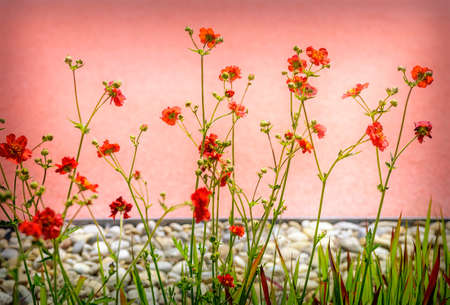 plants with red blossoms in front of a pink wall in an ornamental garden of Tulln, Austria