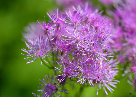 tenuous lilac blossoms of a columbine meadow-rue Standard-Bild