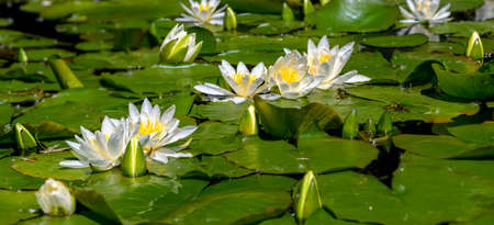 Water covered by blossoms and leaves of white pond lilies in sunshine at Tulln, Austria