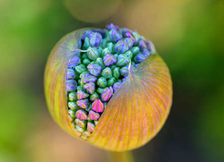 Near view of a partly open blossom capsule of an ornamental onion Standard-Bild