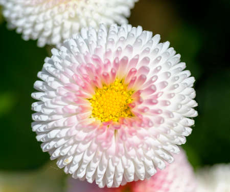 Blossom of a flowering plant of the genus Bellis shaped like a bowl