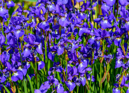 blue blossoms of dragon flowers in sunshine Standard-Bild