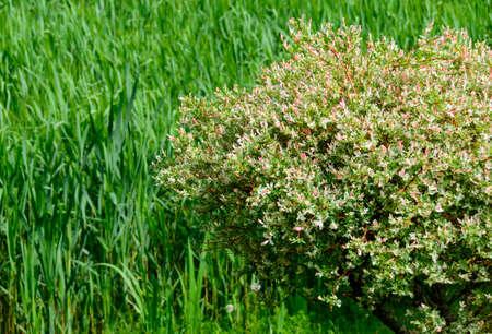 pink flourishing weigela shrub afore a green pasture with long grass