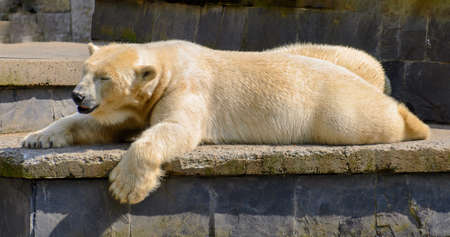 sleeping ice bear lying outstretched on a stone in the sun
