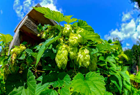 Green hop plant with umbels in sunshine against blue sky Standard-Bild