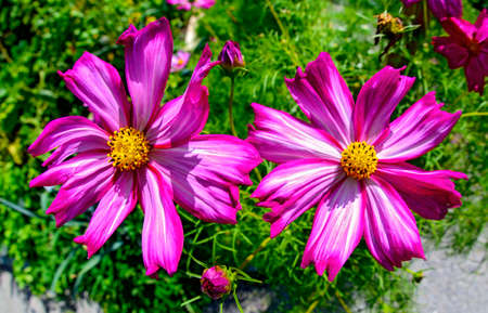 two lilac blossoms of a cosmos bipinnatus at sunshine in summer Standard-Bild