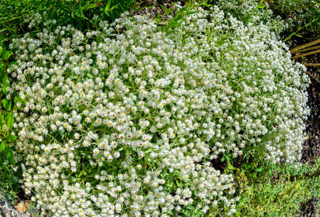 Anaphalis, white herbaceous and woody flowering small forb at sunshine