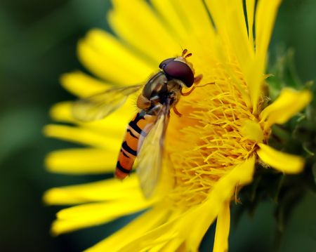 Small wasp on yellow flower photo