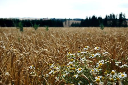 The field is ripe barley and chamomile photo