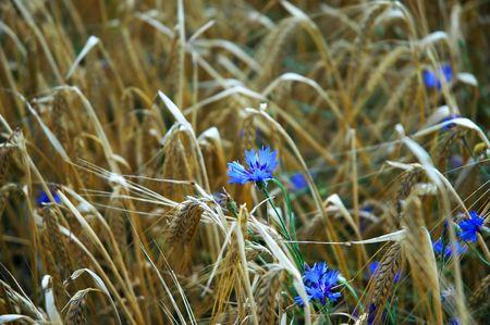 Field of ripe barley and cornflower photo