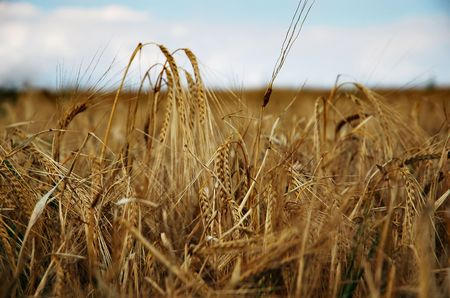The field is ripe barley photo