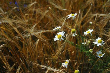 The field is ripe barley chamomile photo