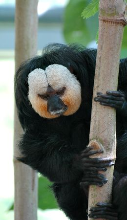 saki: Saki monkey sitting on a tree