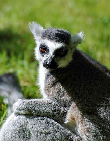 catta: Lemur catta in the ZOO Stock Photo