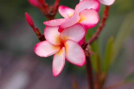 Plumeria Flower on the island of Koh Samui, Thailand photo