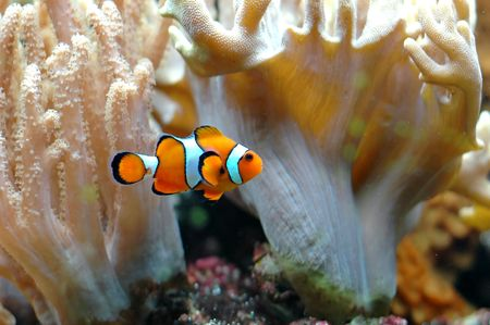 The Marine Fish - Ocellaris clownfish Stock Photo - 6066746