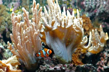 The Marine Fish - Ocellaris clownfish Stock Photo - 6066885