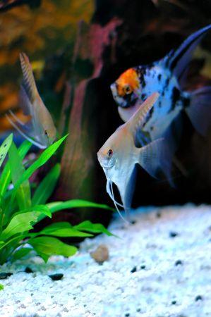 Two angelfish in the aquarium Stock Photo