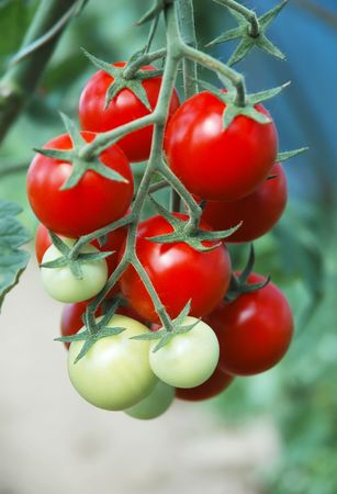 The bush ripe red tomatoes