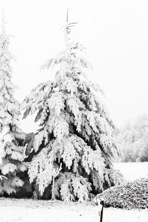 Tree, field, snow and frost photo