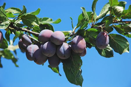 Fruit - a branch of ripe plums photo