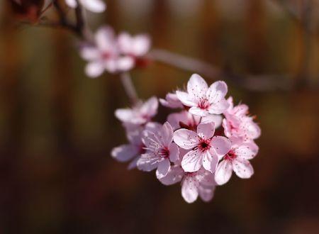Symbol of spring - flowering cherry branch Stock Photo
