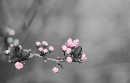 Symbol of spring - flowering cherry branch Stock Photo - 6345294
