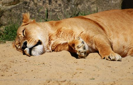 african sax: Sleeping lioness in the ZOO