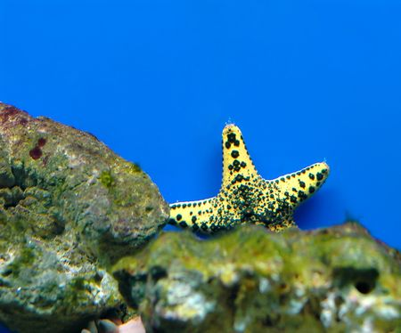 saltwater pearl: Yellow starfish on a blue background