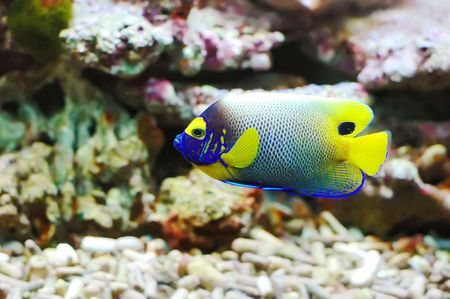 Side view of bluefaced Angelfish (Pomacanthus xanthometapon) swimming photo