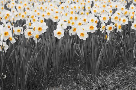 A Outdoor garden with a many daffodils . photo