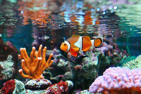 corales marinos: El Marine Fish - clownfish Ocellaris  Foto de archivo