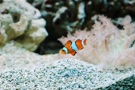 The Marine Fish - Ocellaris clownfish Stock Photo - 6975138