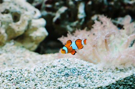 The Marine Fish - Ocellaris clownfish Stock Photo - 6975138